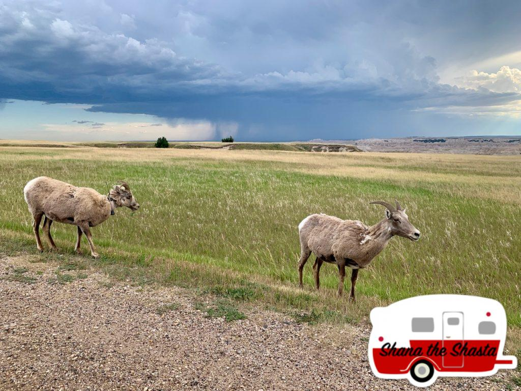 Big-Horn-Sheep-Big-Rain-Storm