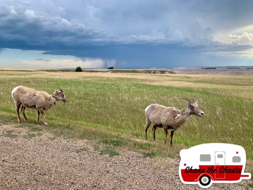 Big-Horn-Sheep-Big-Rain-Storm