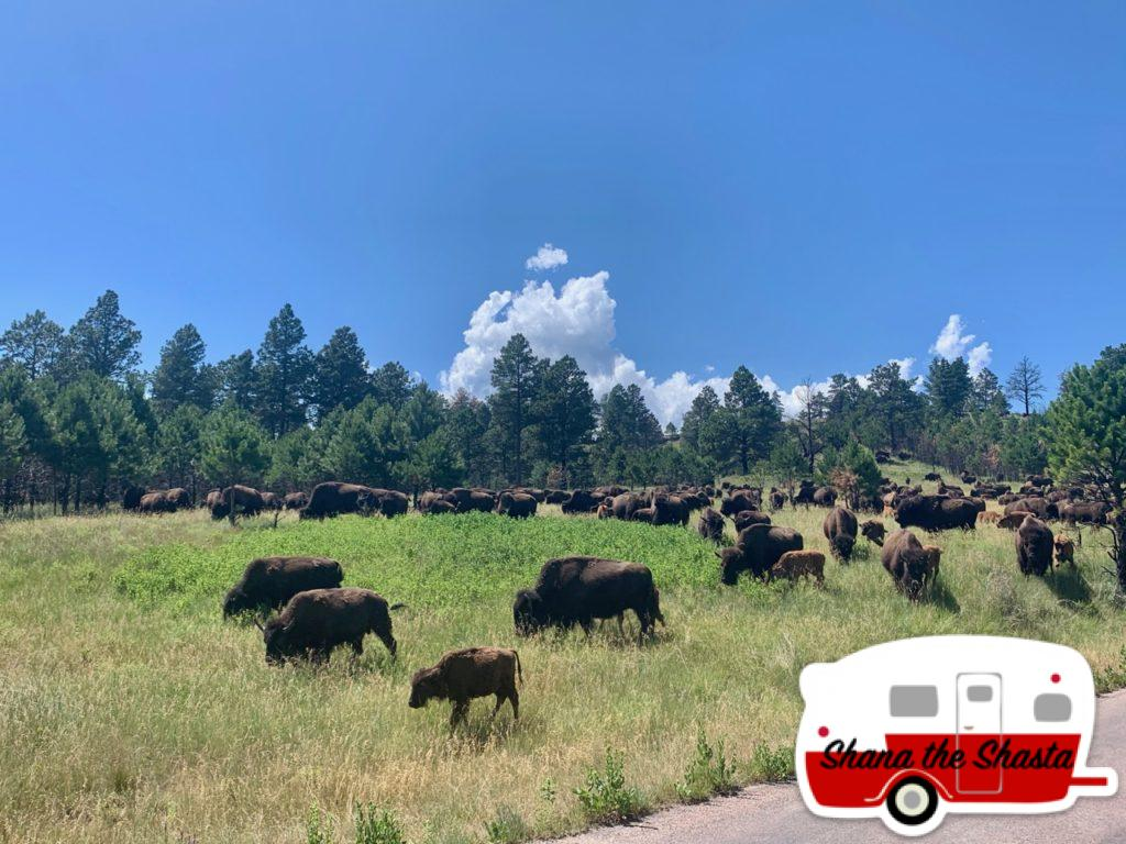 Bison-Herd-in-Custer-State-Park