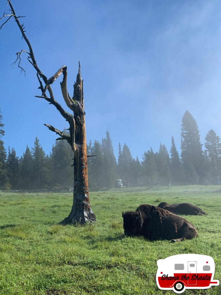 Bison-Rest-Morning-Fog-Yellowstone