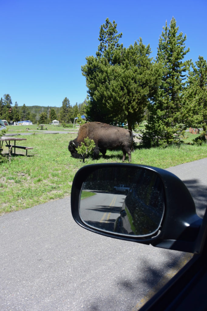 Bison-at-Yellowstone-Campsite