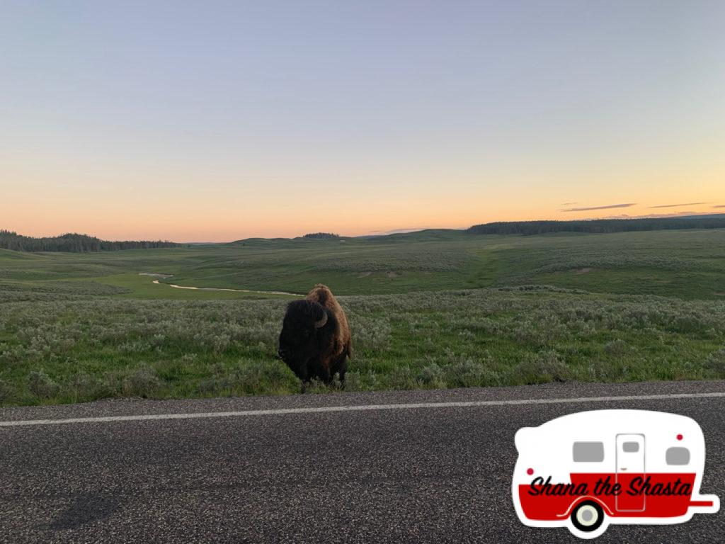 Bison-by-Road-of-Hayden-Valley-Yellowstone