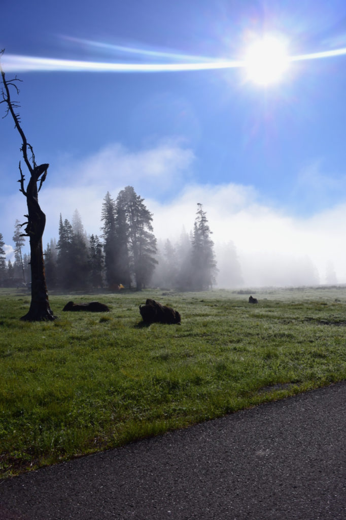 Bison-in-Sunrise-Fog-at-Yellowstone
