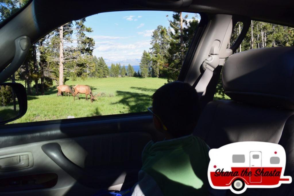 Elk-in-Yellowstone-Campground