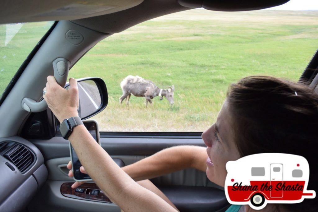 Roadside-Big-Horn-Sheep-in-Badlands