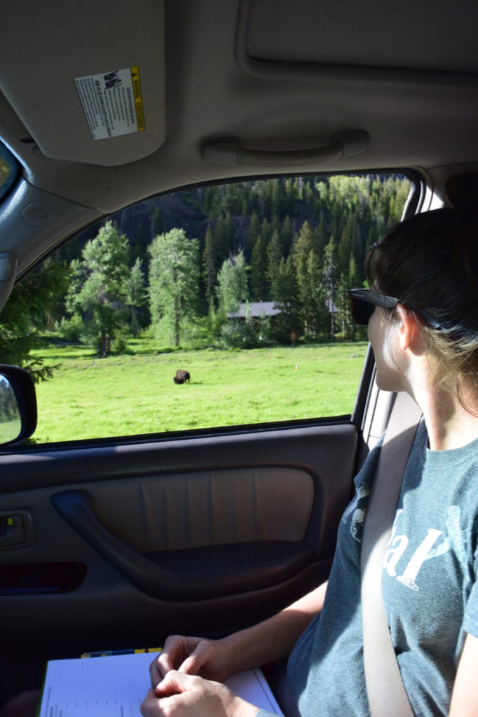 Roadside-Bison-at-Bridge-Bay-Campground