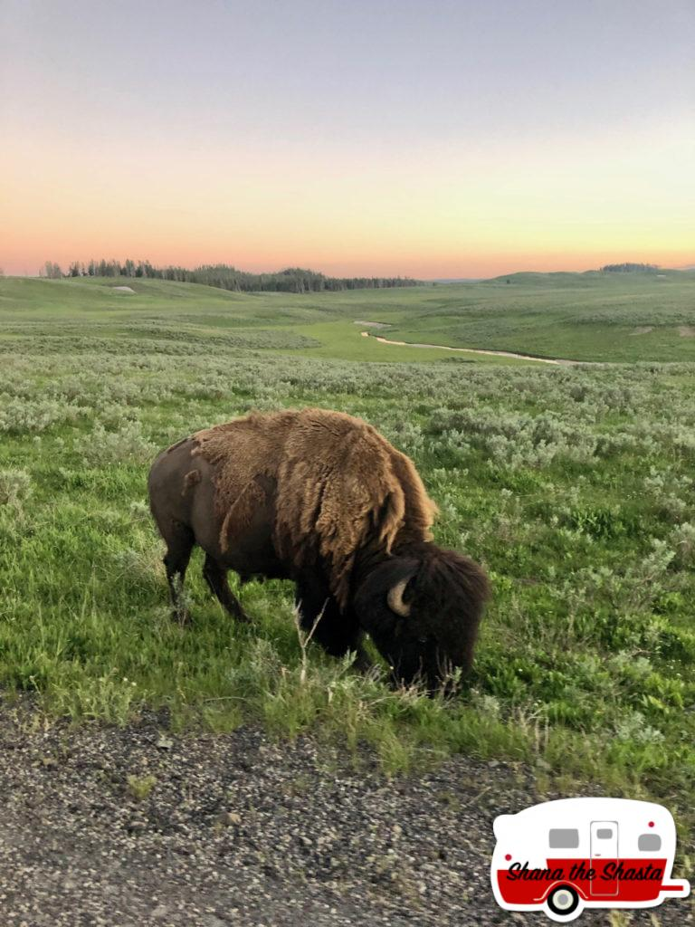 Roadside-Bison-at-Hayden-Valley-Yellowstone