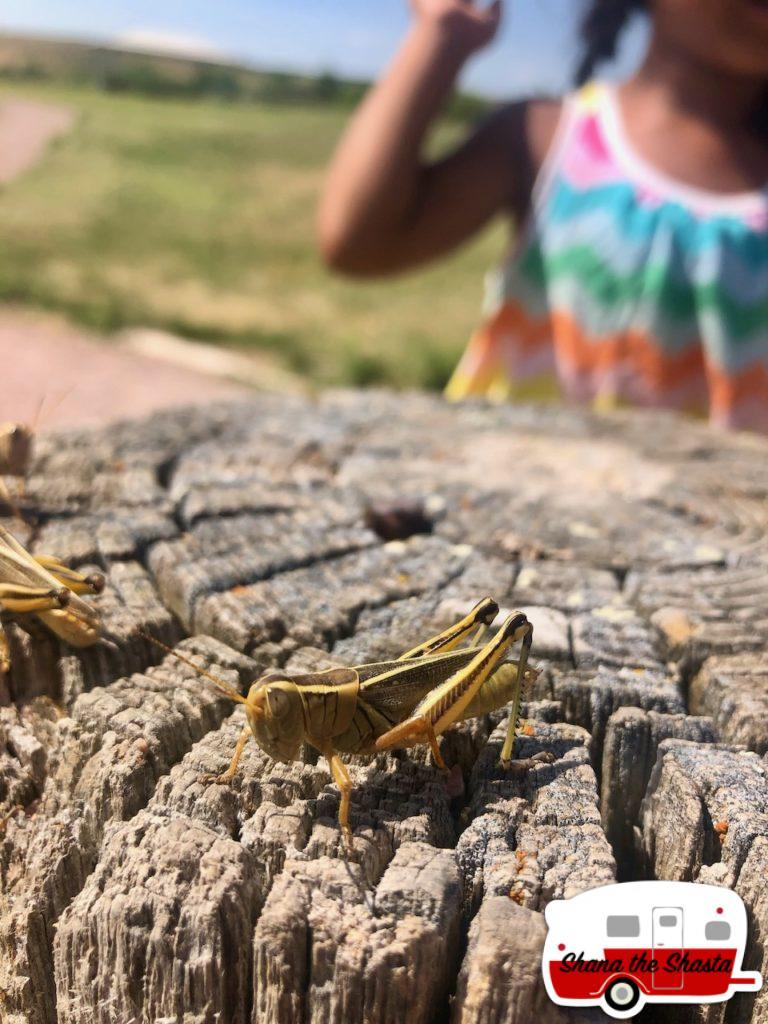 South-Dakota-Grasshopper