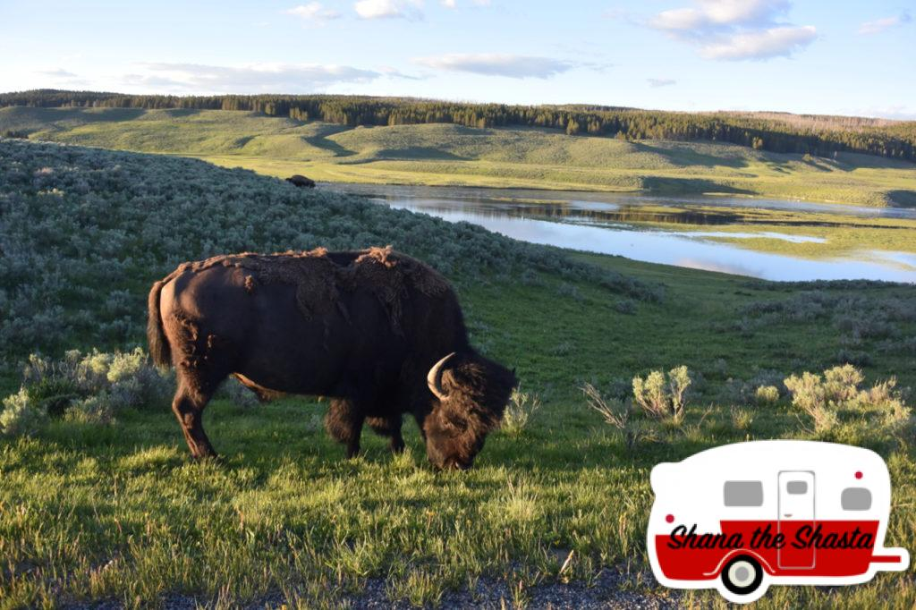 Yellowstone-Sunset-Bison